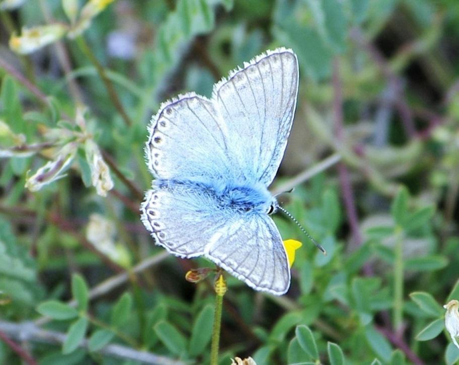 LYCAENIDAE Lysandra hispana 1 (bleu nacré espagnol mâle).JPG