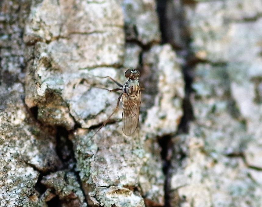 SCATHOPHAGIDAE Scathophaga stercoraria 1 (mouche à merde).JPG