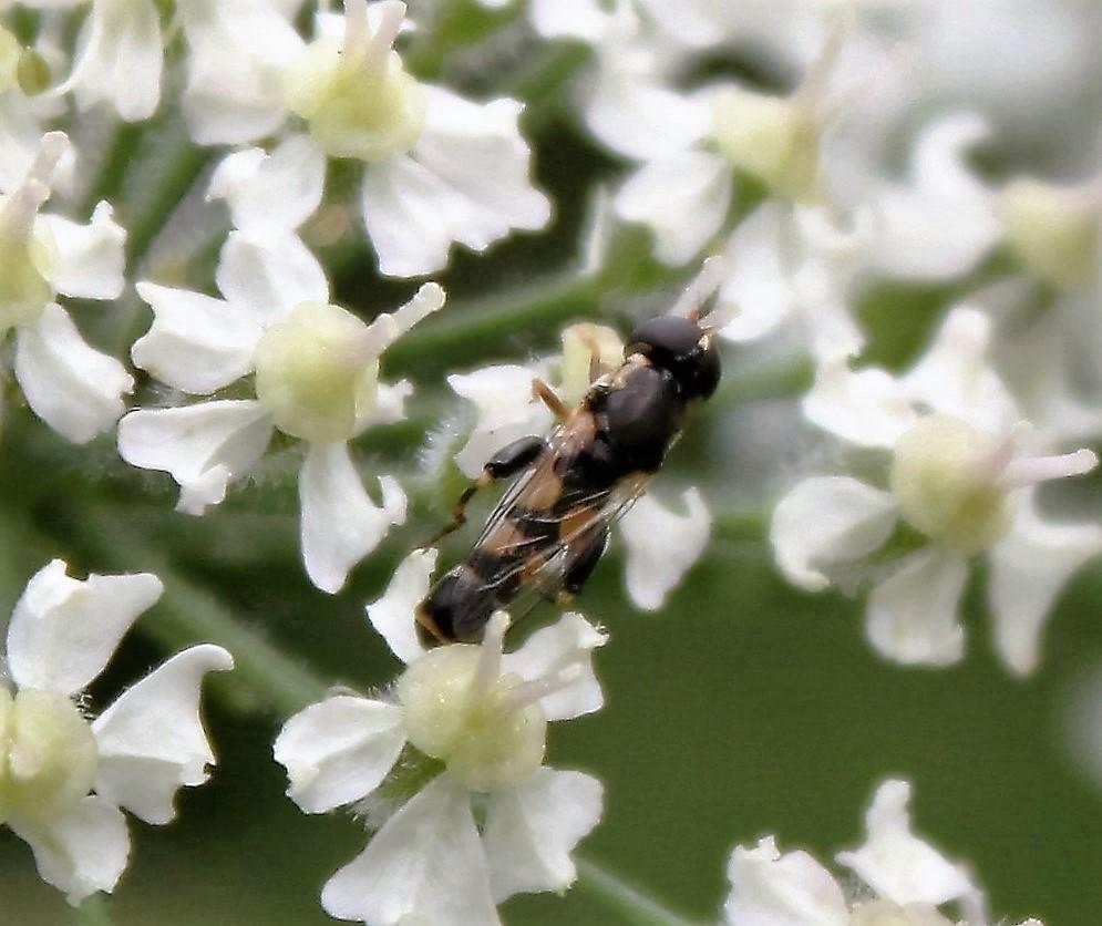SYRPHIDAE Syritta pipiens 1 (syritte piaulante).JPG