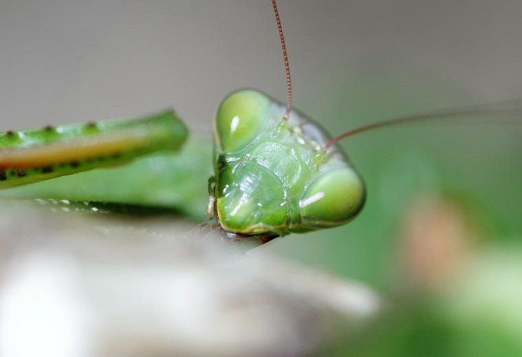 DICTYOPTERA MANTIDAE Mantis religiosa 1.JPG