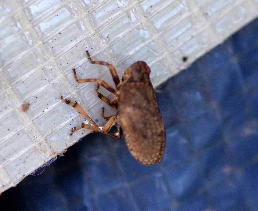 HOMOPTERA ISSIDAE Issus coleoptratus 1.JPG