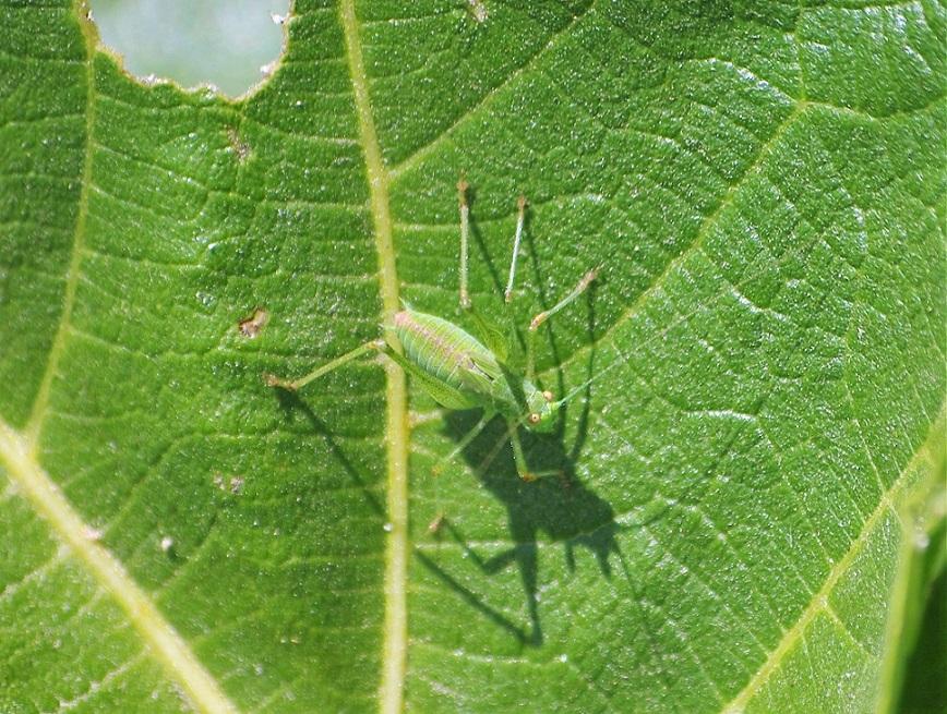 TETTIGONIIDAE Tettigonia viridissima 3.JPG