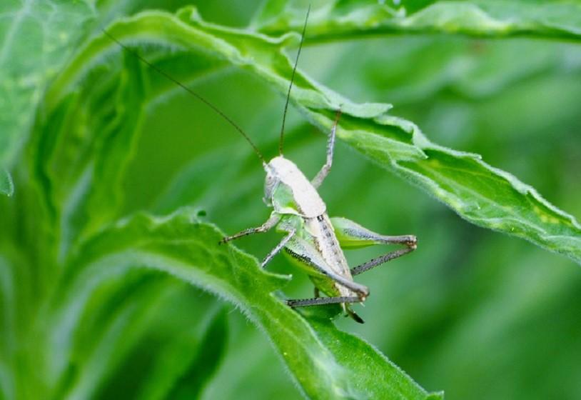 TETTIGONIIDAE Platycleis sp. (decticelle larve femelle).JPG
