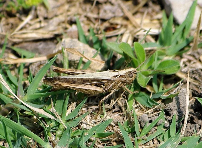 ACRIDIDAE Aiolopus puissanti 5 (aïolope élancée mâle).JPG