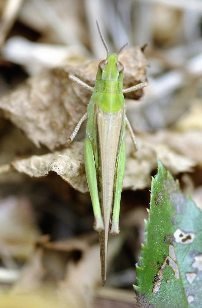 ACRIDIDAE Aiolopus puissanti 6 (aïolope élancée femelle).JPG