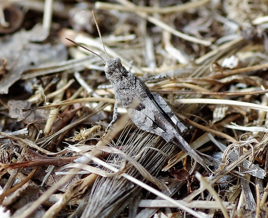 ACRIDIDAE Oedipoda caerulescens 3.JPG