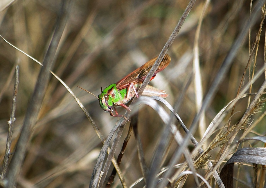 ACRIDIDAE Locusta cinerascens.JPG