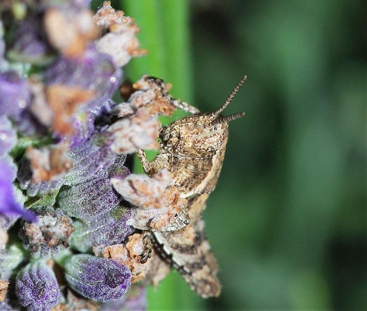 CALLIPTEMINAE Callipteminae sp. (caloptène larve).JPG