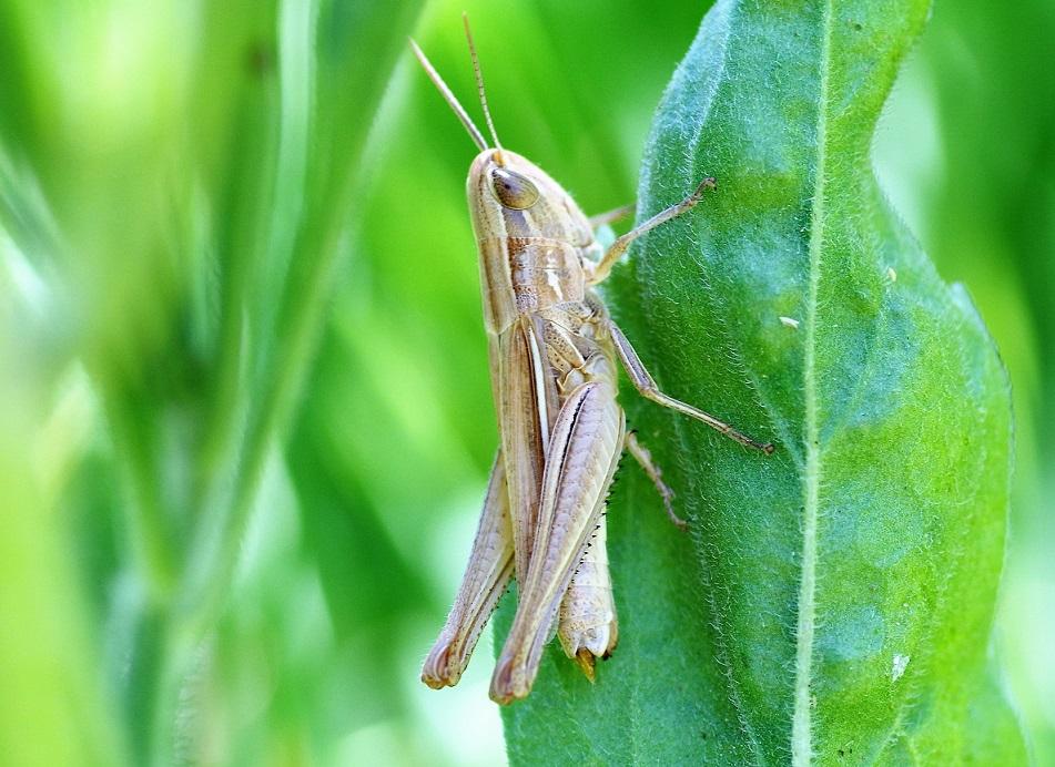 ACRIDIDAE Chorthippus albomarginatus 2 (criquet marginé).JPG
