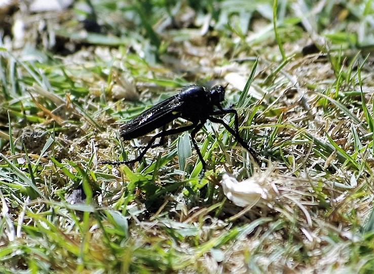 ASILIDAE Dasypogon diadema (asilide noire).JPG