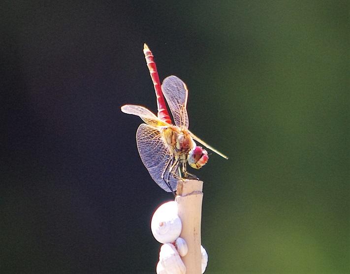 LIBELLULIDAE Sympetrum fonscolombii 7 (sympetrum à nervures rouges mâle).JPG