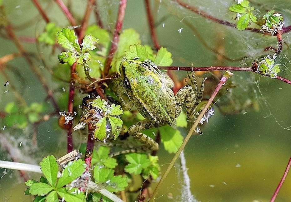 ANURA RANIDAE Pelophylax sp. 3 (grenouille verte).JPG