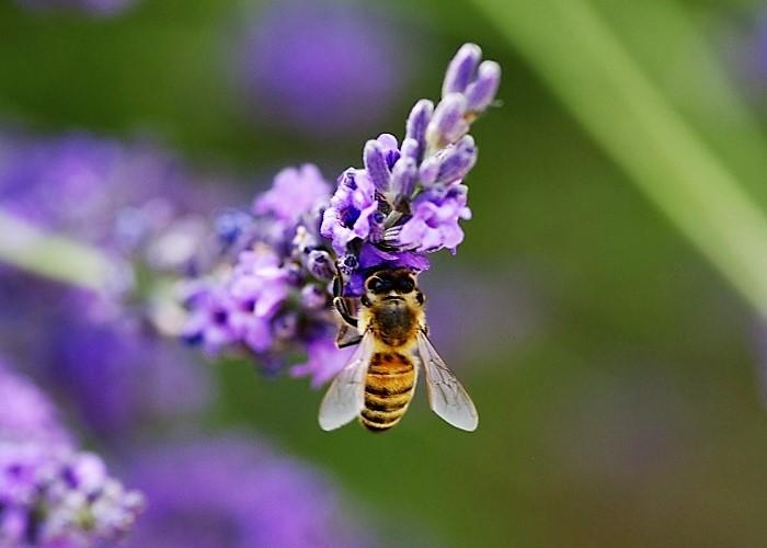 APIDAE Apis mellifera 1 (abeille domestique).JPG
