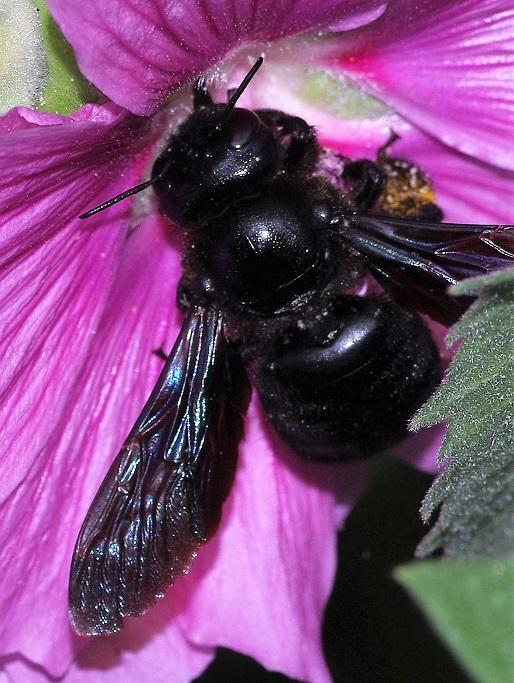 APIDAE Xylocopa violacea 1 (abeille charpentière).JPG