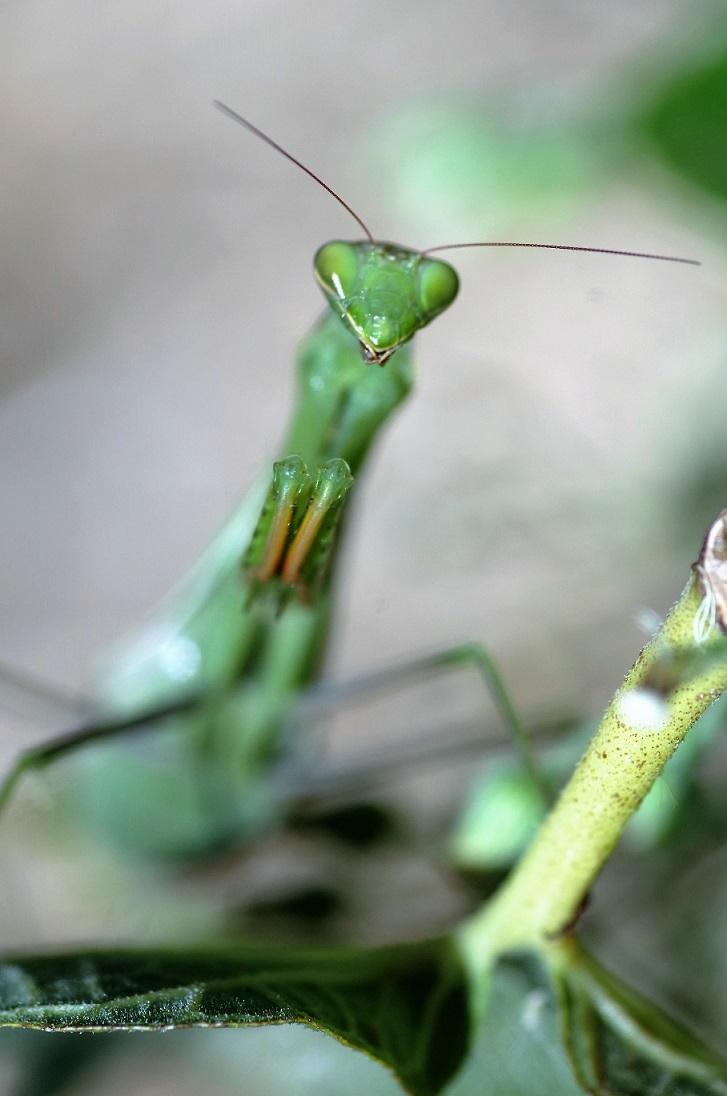 DICTYOPTERA MANTIDAE Mantis religiosa 2.JPG