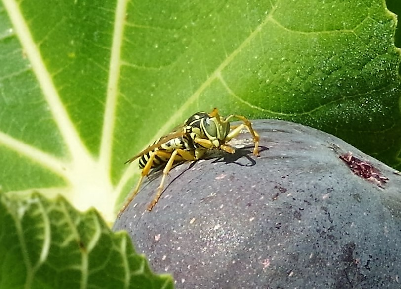 VESPIDAE Polistes sp. 2 (mâle).JPG