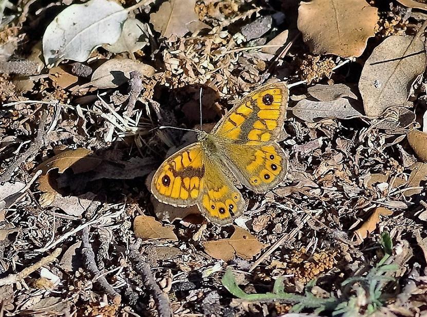 NYMPHALIDAE Lasiommata megera 2 (mégère  mâle).JPG