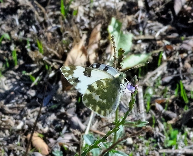 PIERIDAE Pontia daplidice 2 (marbré de vert).JPG