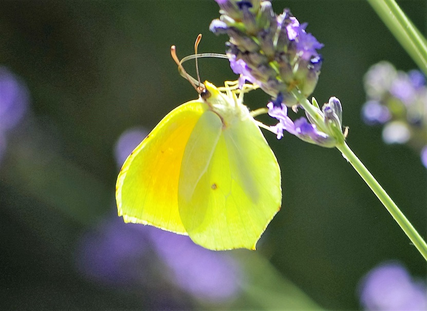 PIERIDAE Gonepteryx cleopatra 4 (citron de Provence).JPG