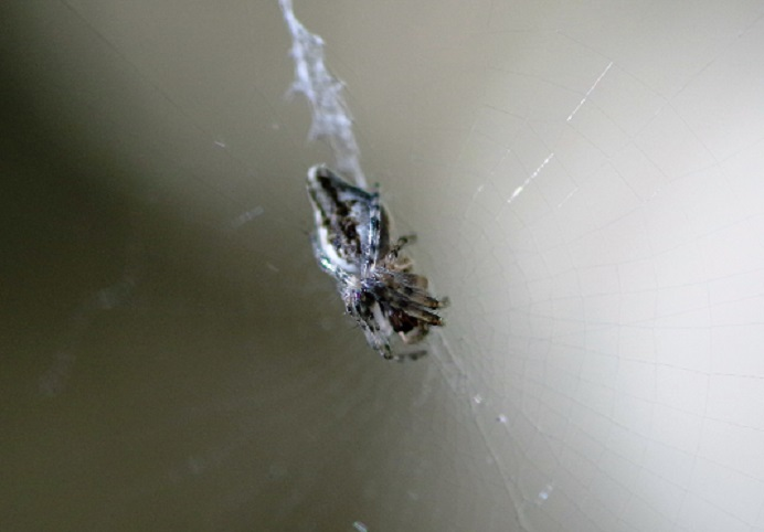 ARANEIDAE Cyclosa conica.JPG