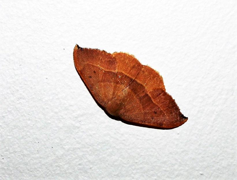 DREPANIDAE Watsonalla binaria (hameçon).JPG