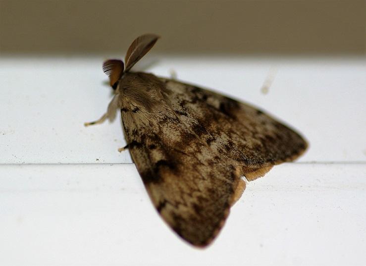 EREBIDAE Lymantria dispar (bombyx disparate).JPG