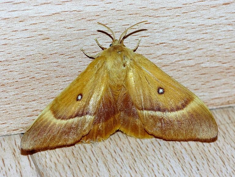 LASIOCAMPIDAE Lasiocampa trifolii  (bombyx du trèfle).JPG