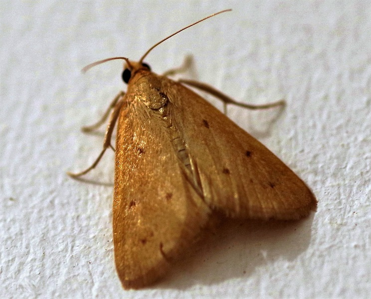 CRAMBIDAE Achyra nudalis (nymphule nue).JPG
