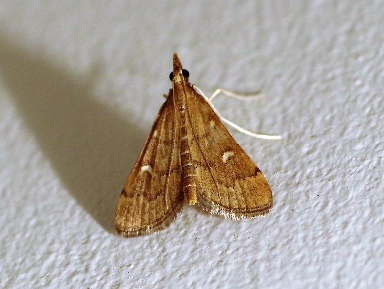 CRAMBIDAE Dolichartia punctalis (sténie ponctuée).JPG