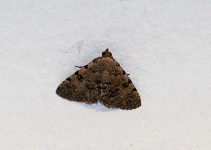 EREBIDAE Autophila limbata (chéirophane de l'astragale).JPG