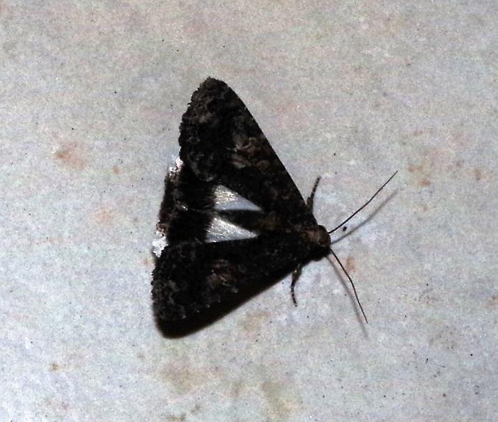 NOCTUIDAE Aedia leucomelas (clair-obscur).JPG
