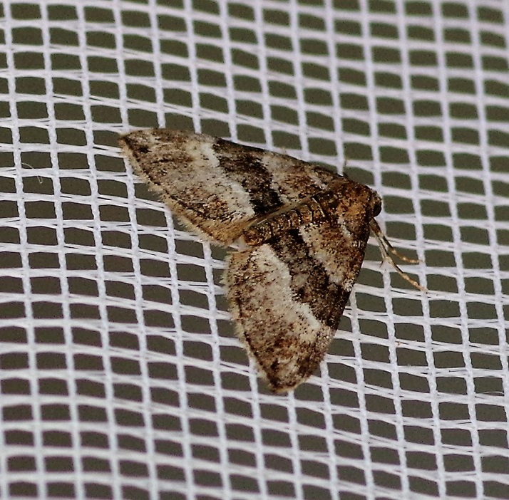 GEOMETRIDAE Euphyia unangulata (cidarie à bec).JPG