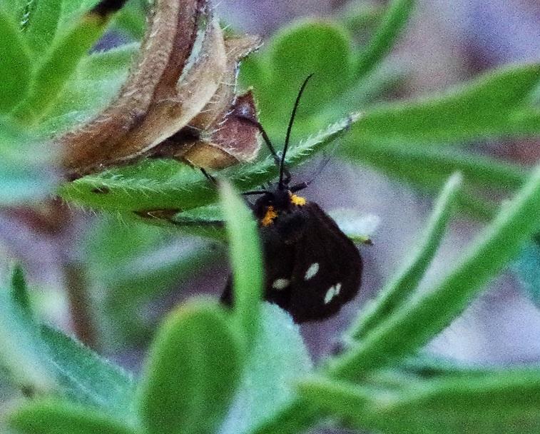 CRAMBIDAE Anania funebris (botys à huit taches).JPG