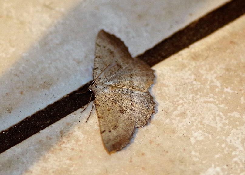 GEOMETRIDAE Aethalura punctulata (boarmie ponctuée).JPG