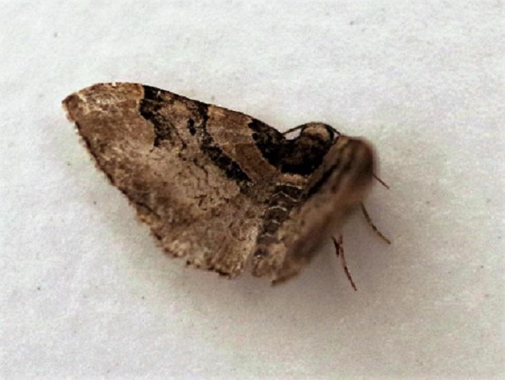 GEOMETRIDAE Catarhoe rubidata 2 (eubolie roussâtre).JPG
