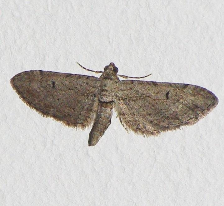 GEOMETRIDAE Eupithecia distinctaria (eupithécie du thym).JPG