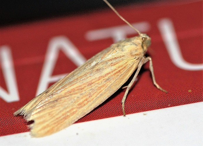 PYRALIDAE Anerastia lotella 1 (phycide lavée).JPG