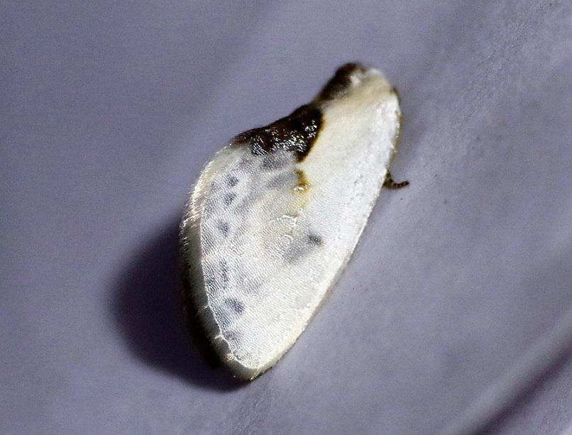 DREPANIDAE Cilix glaucata (petite épine).JPG