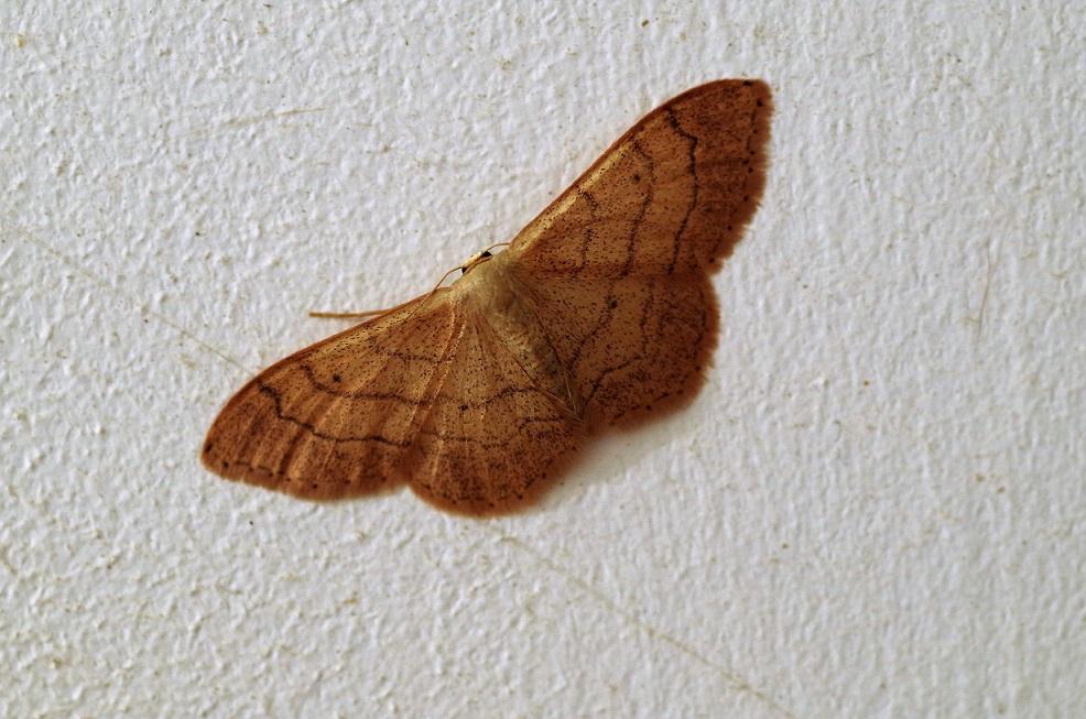 GEOMETRIDAE Idaea aversata (acidalie détournée).JPG