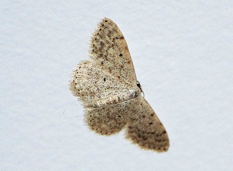 GEOMETRIDAE Idaea libycata (acidalie discrète).JPG