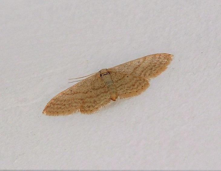 GEOMETRIDAE Idaea litigiosaria (acidalie contestée).JPG