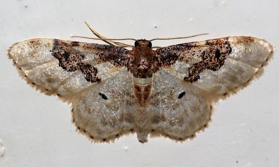 GEOMETRIDAE Idaea rusticata (acidalie rustique).JPG