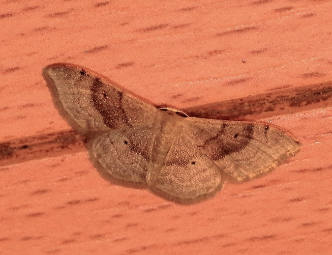 GEOMETRIDAE Idaea degeneraria (acidalie dégénérée).JPG
