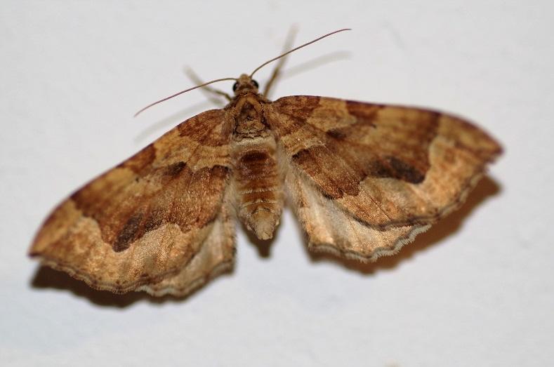 GEOMETRIDAE Pelurga cominata (cidarie accompagnée).JPG