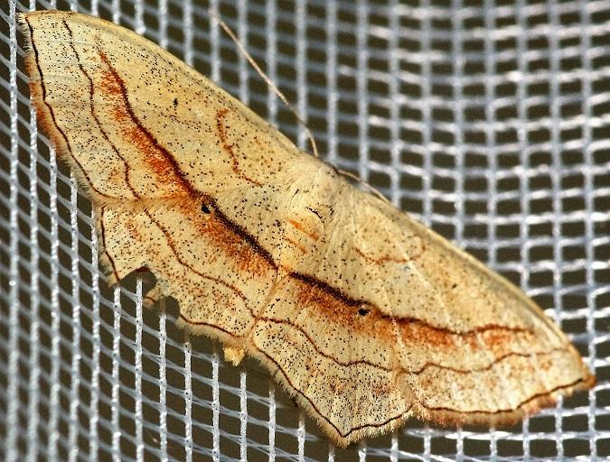 GEOMETRIDAE Scopula imitaria (acidalie fausse timandre).JPG