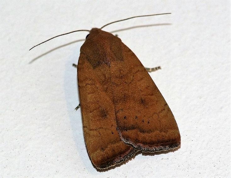 NOCTUIDAE Noctua interjecta (faux casque).JPG