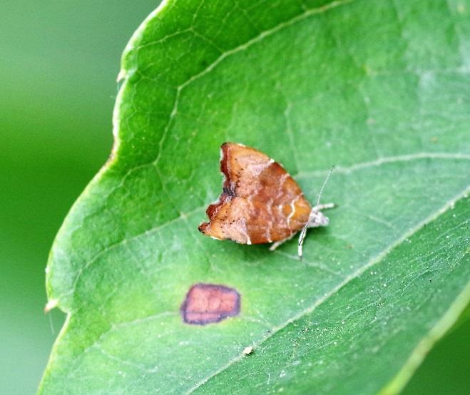 CHOREUTIDAE  Choreutis nemorana (teigne du figuier).JPG