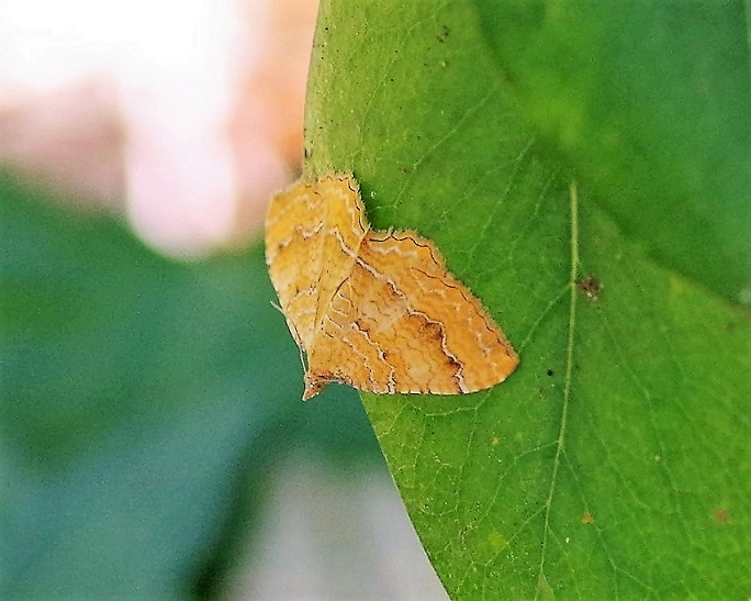 GEOMETRIDAE Camptogramma bilineata 2 (brocatelle d'or).JPG