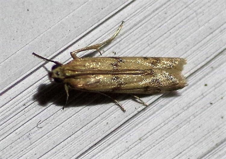 PYRALIDAE Homoeosoma sinuella (phycide du plantain).JPG