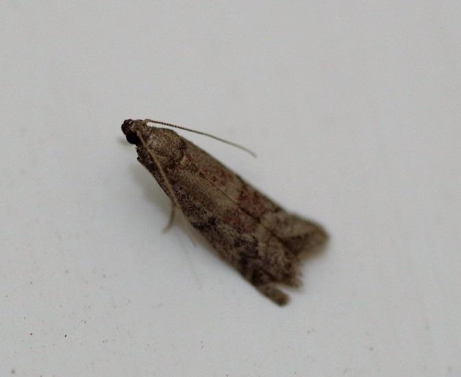 PYRALIDAE Ephestia unicolorella 1 (phycide de Wood).JPG